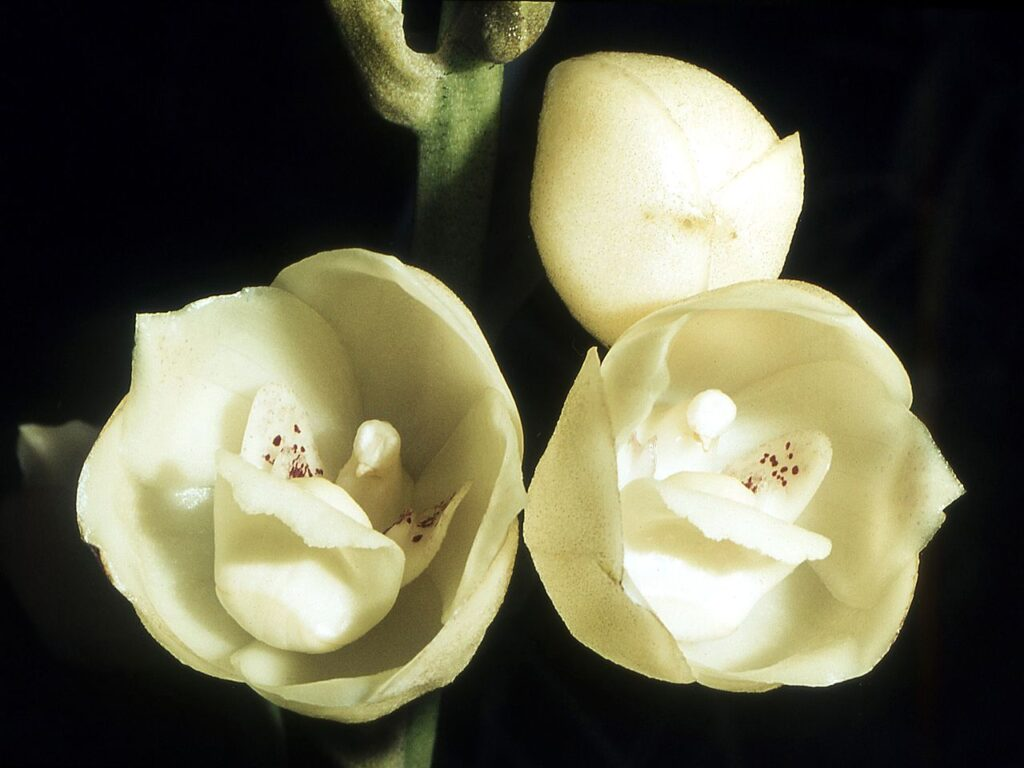 Dove Orchid, Flower of the Holy Spirit